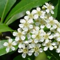 ピラカンサの花と実