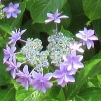 紫陽花の種類色々