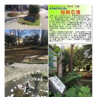 花壇-17 桜樹広場