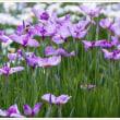 樺島菖蒲園