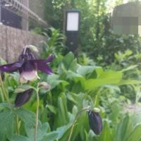 濃紫のオダマキ