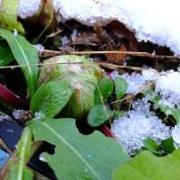 雪のあとフキノトウがでました。