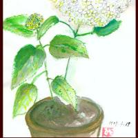 うれしい~さし芽したアジサイのアナベル咲きました