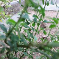 エニシダの新しい芽