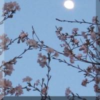 裏の土手の桜