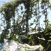 長芋の袋栽培
