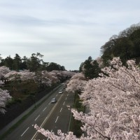 今朝の兼六園と金沢城桜散策
