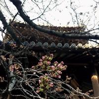 早朝の東長寺から桜の開花状況(iphoneにて撮影)