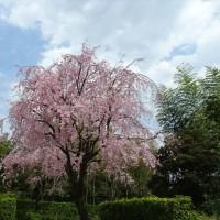 「日本庭園の桜」/昭和記念公園(2017春)