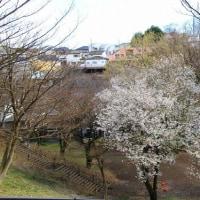保土ヶ谷公園・横浜緋桜