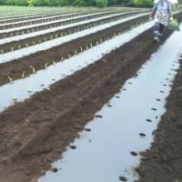 トウモロコシ定植2017(13回目)