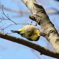 モミジの樹液に集まる鳥たち