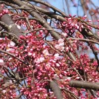 本日の京都御苑近衛跡の糸桜(3/26)