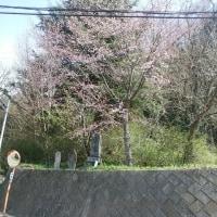 庚申等の桜が咲きました