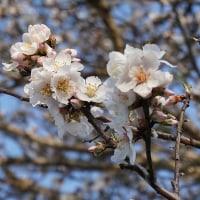 アーモンドの花が咲いた