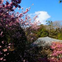 『春一番』 寒緋桜