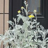 白妙菊(しろたえきく)という花