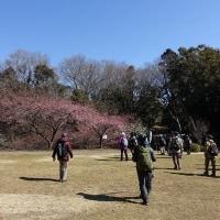 山茱萸(サンシュユ)咲き始め、河津桜五分咲き