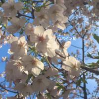 青空の桜はやはりいい!