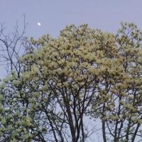 白木蓮満開