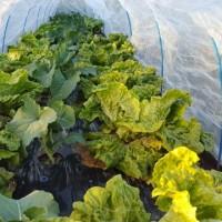 上手く食べ続ける栽培は難しいです。
