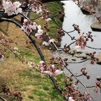 「野川に淋し気に咲く桜」