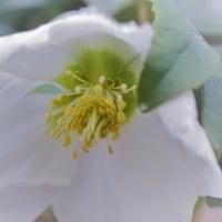 ●我が家の2月の花(4) 雪とバイカオウレン、クリスマスローズ・ニゲルが開花 紅梅 雪の結晶