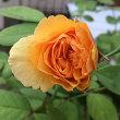 暑さに負けるなぁ〜四季咲きバラちゃんたち!