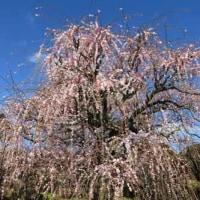 田口梅園の梅見ごろ―松阪市岡山町
