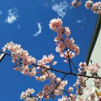桜が咲きました(都内の河津桜)