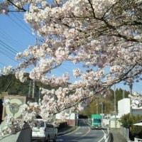 お散歩日記~中房総・大多喜にも桜前線がやってきた『老川入口・上総中野・西畑周辺の桜模様』~