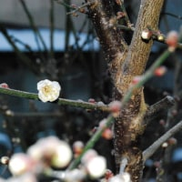 寒さの中、梅が開いています