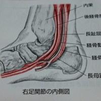 躓かない歩き方:長母趾屈筋