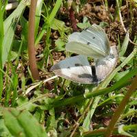 春シメジを仕入れに秦野に行く・巣立ったばかりのモズに出会う
