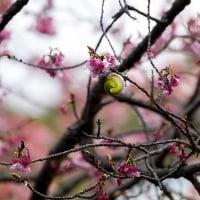 2017開運桜もやや見頃を過ぎ 《福津市宮地嶽神社》