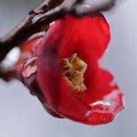 ●我が家の1月の花(5) 真っ赤なボケと雪 カラタチバナの実 フリルビオラ