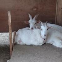 奇跡のヤギ伝説その①結核を治したヤギの乳