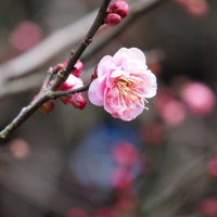 種松山の梅