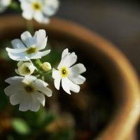 ユキワリコザクラ 白花