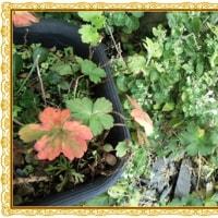 ゲンノショウコの 草紅葉 初冬の楽しみ