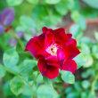 炎天下で咲くバラ