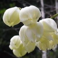 季節の花「ユッカリ蘭」
