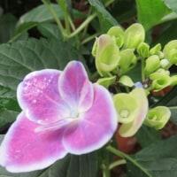 紫陽花「チボリ」