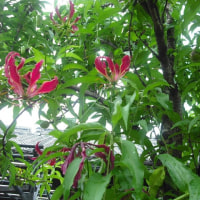 木を登ってます グロリオーサの花