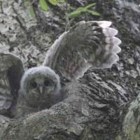 今日の鳥 エゾフクロウ 親子 ヒナの色々な変化の状況を撮影出来ました。