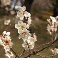 榴ヶ岡公園の梅と延命餅本舗