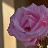 高遠の花の丘公園・・・・しんわの丘ローズガーデン・・秋のバラ
