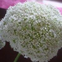 「ニンジンの花」