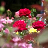 曇り空 と 真っ赤な薔薇