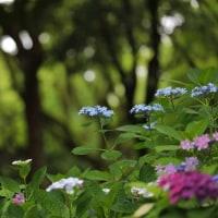 筥崎宮の紫陽花 その2